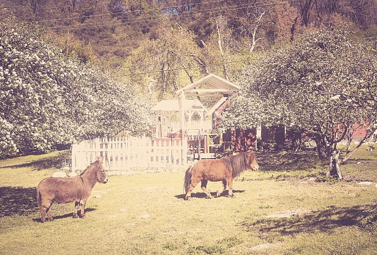 mini horse and mini donkey on an apple farm
