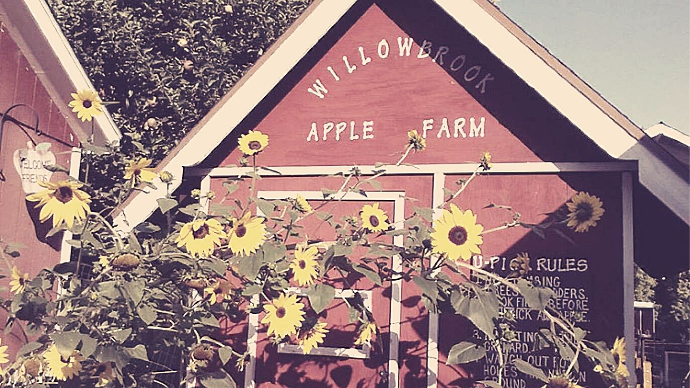 red barn with willowbrook apple farm painted on the side and sunflowers