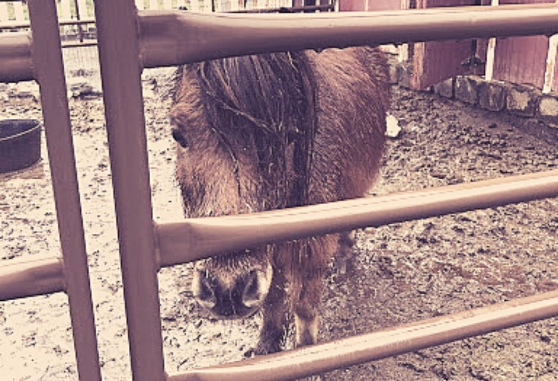 mini horse looking through a gate