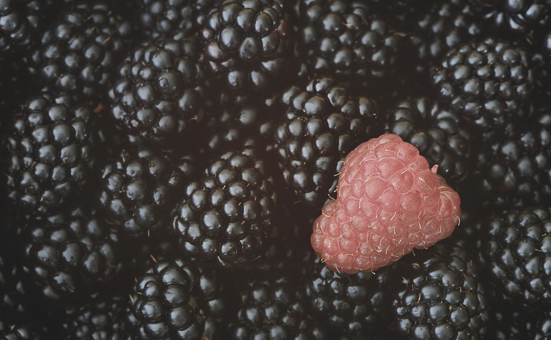 blackberries with one red raspberry